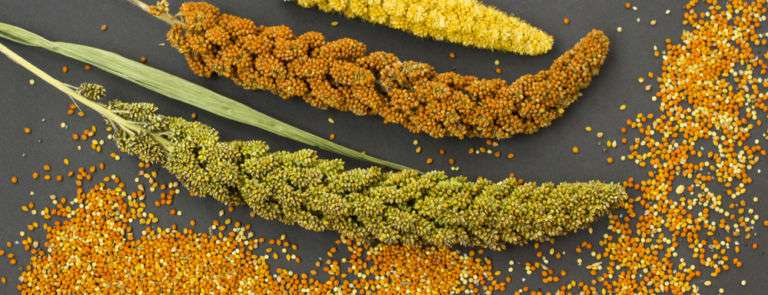 yellow, green and red ears of millet